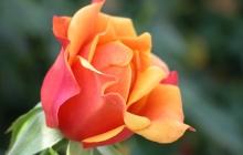 rose-flower-9